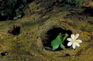 Single_blossom_and_leaves_growing_out_of_knot_hole_in_old_log